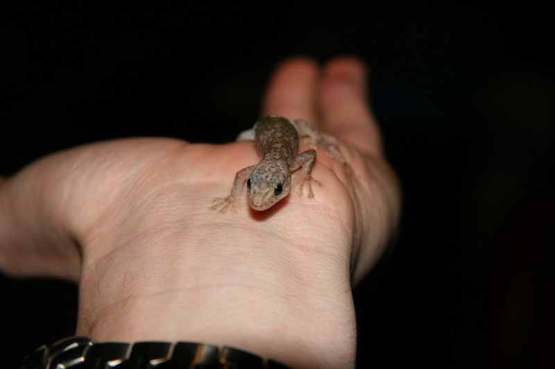 Gecko in my hand