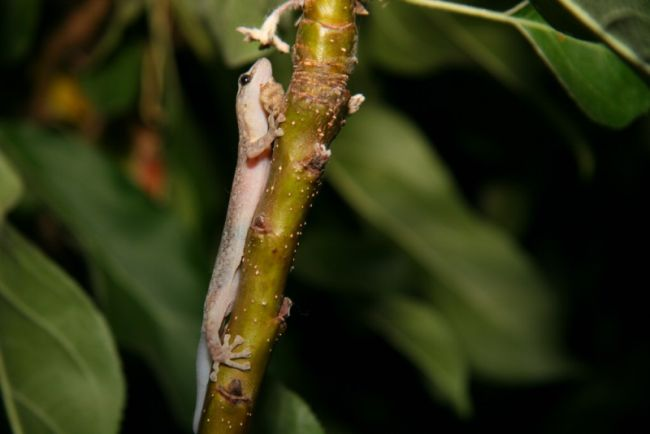 Gecko on a tree branch.